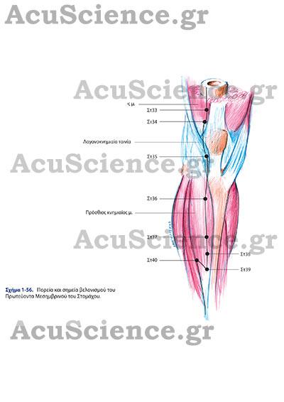 Acuscience.gr Σημεία Βελονισμού του Στομάχου