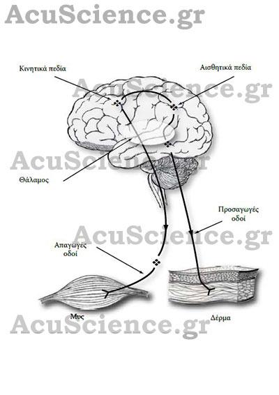 Πεδία Βελονισμού Acuscience.gr